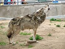 Волки или собаки? Жизнь города